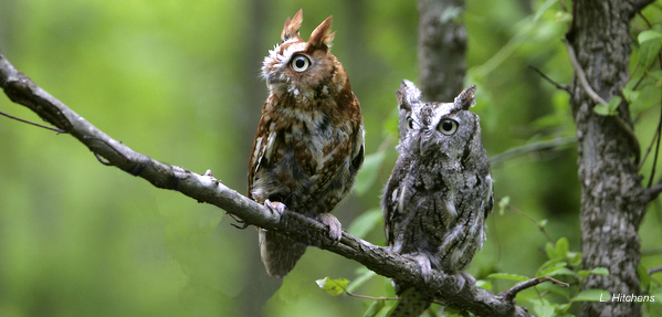 Screech Owls 4x6  - Larry Hitchens-001
