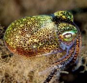 dumpling squid_Mark Norman-001