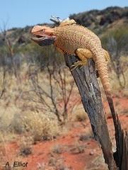 Bearded Dragon -DSF