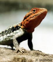 Tawny dragon-001